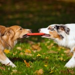 two dogs playing with a toy together, Pet minding, Dog minding, House sitting, dog training.